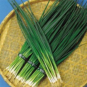 ネギ 種 【 博多くろ (冬用) 】 種子 小袋(約20ml) ( 種 野菜 野菜種子 野菜種 )