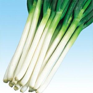 ネギ 種 【 冬山一本太 】 種子 2dl ( 種 野菜 野菜種子 野菜種 )