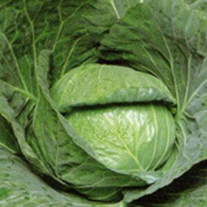キャベツ 種 【 舞鶴 】 種子 20ml ( 種 野菜 野菜種子 野菜種 )