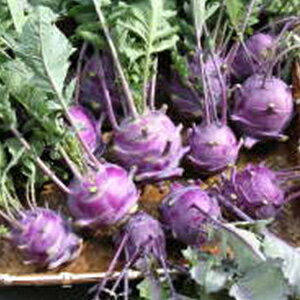 キャベツ 種 【 コールラビ 紫 】 小袋 ( キャベツの種 )