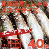 【送料無料】北海道(広尾産)ししゃもメス大サイズ40尾(8尾×5)【本ししゃも】