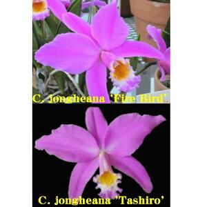 カトレア属ジョンゲアナ交配C.jongheana('Fire Bird'SSM/JOGA x'Tashiro'BM/JOGA) 5000円以上購入で送料無料。