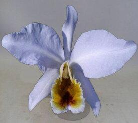C.percivaliana fma coerulea X Self カトレア属パーシバリアナ・セルレア x セルフ5000円以上購入で送料無料。