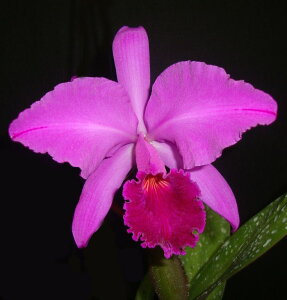 C.labiata fma rubra X Sibカトレア属ラビアタ X シブリング5000円以上購入で送料無料。