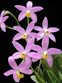 C.lucasiana X Sibカトレア属ルカシアナ