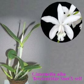 C.intermedia alba 'Breckenridge Snow'X self C.インターメディア'ブレッケンリドゲ スノー' x セルフ