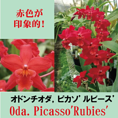Oda. Picasso'Rubies' オドンチオダ属、ピカソ'ルビース'5000円以上購入で送料無料。