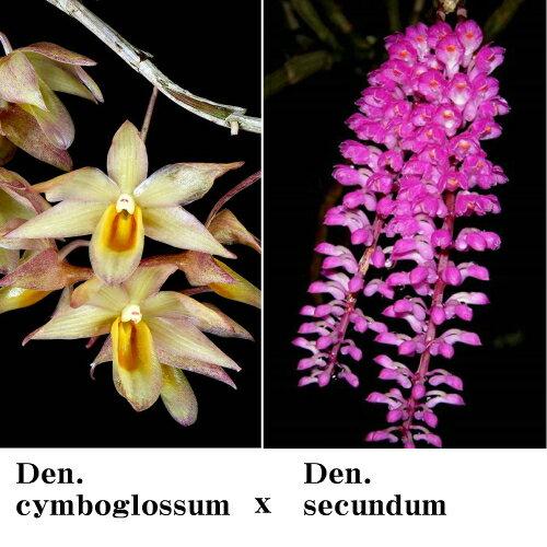 Den.cymboglossumXDen.secundumデンドロビウム属シンボグロッサムxセクンダム