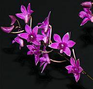 Den.Orchid Songデンドロビューム属オーキッドソング