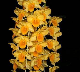 Den.griffithianumデンドロビューム属グリフィッシアナム