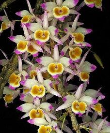 Den. gratiosissimumデンドロビューム属 グラチオシッシマム苗