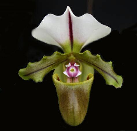 Paph.spicerianum パフィオペディラム属スピセリアナム5000円以上購入で送料無料。