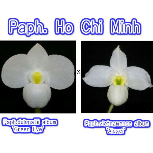 Paph.Ho Chi Minh パフィオペディラム属 ホーチミン 5000円以上購入で送料無料。