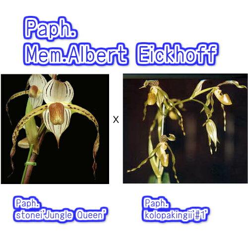 Paph.Mem.Albert Eickhoff パフィオペディラム属メモリア アルバートアイクホフ 5000円以上購入で送料無料。