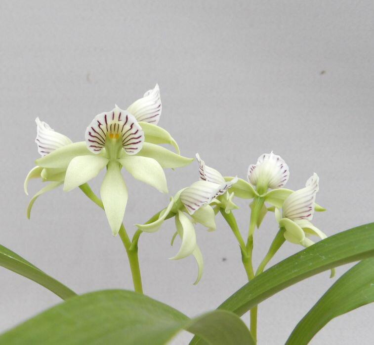 Encyclia chacaoense'Suzuki'x selfエンシクリア属 チャカオエンシス 'スズキ'xセルフ 5000円以上購入で送料無料。