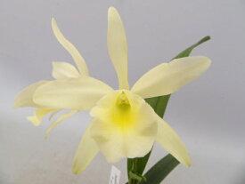 B. nodosa x C.alaoriブラサボラ属ノドサ x カトレア属アラオリ 5000円以上購入で送料無料。