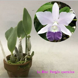 Lc.Mini Purple var. coeruleaレリオカトレア属ミニパープル セルレア