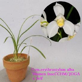 Cym.erythrostylum fma album 'Blumen Insel'CHM/JOGA X Selfシンビジウム属エリスロスティルム アルバム'ブルーメンインセル'Xセルフ