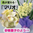 シンビジューム.ミニサラ'マリオ'4本【直立仕立て】 送料無料。