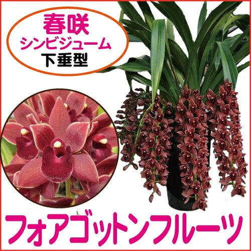 シンビジューム.フォアゴットンフルーツ花芽4本以上【下垂タイプ】日本ミツバチ