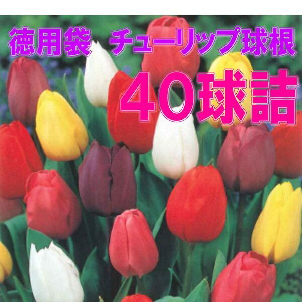 特価 チューリップ球根 40球詰(4色×10球入)