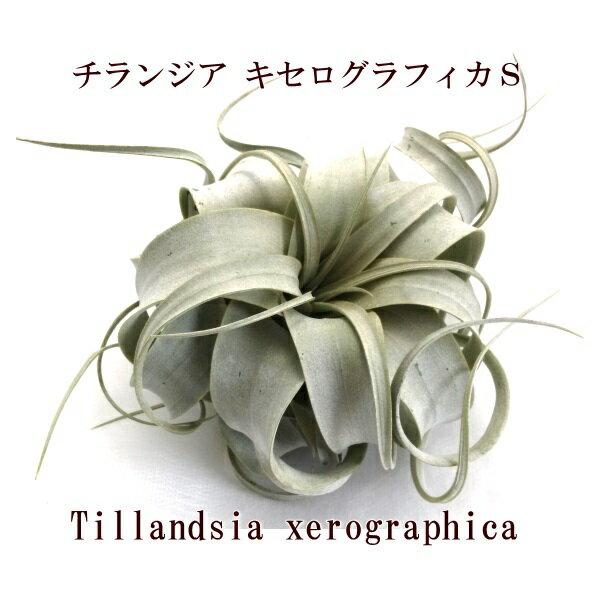 エアープランツ チランジアキセログラフィカ Sサイズ(12〜14cm前後)【大型商品との同梱不可】