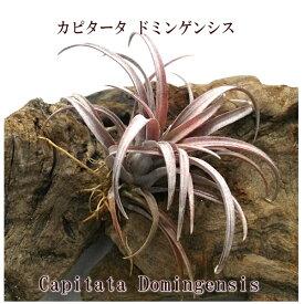 (希少)エアプランツ チランジア カピタータ ドミンゲンシス(10cm前後) エアープランツ