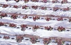 国産オリジナル シルバーマルチ 厚さ0.02mmX幅95cmX長さ200m(農業 農業資材 農業用資材 農業用マルチ マルチ 園芸用品 園芸 農業用品 ガーデニング用品 ガーデニンググッズ ガーデニング資材 日本農業システム アイアグリ)