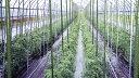 鋼管竹(タキロン) 径13.7mm×長さ180cm ( ガーデニング 野菜づくり トマト 栽培 ビニールハウス ビニルハウス ハウ…