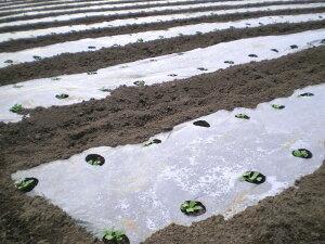 ホールマルチ(銀ネズ) 幅95cm×長さ200m×孔80mm 規格9230(マルチシート 農業用マルチ シート 農業 マルチング アイアグリ 農業資材 家庭菜園 園芸用品 マルチ 農業マルチ 畑 ガーデニング資材