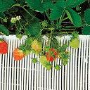 ストロースノコ 白 イチゴ用 25m×30cm
