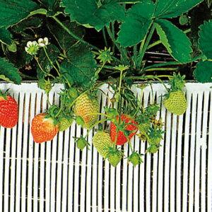 ストロースノコ 白 イチゴ用 25m×20cm( 野菜 果物 果樹栽培 農具 ハウス栽培 いちご イチゴ 苺 とまと トマト 栽培 育苗 家庭菜園 農業用資材 農業用品 園芸用資材・雑品 園芸用品 園芸資材 農