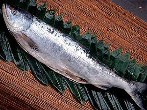 北海道産新巻鮭約3.3キロ前後【楽ギフ_のし】