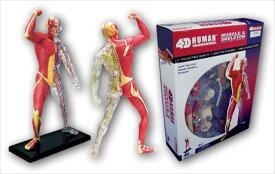 立体パズル 4D VISION 人体解剖 No.13 筋肉と骨格解剖モデル
