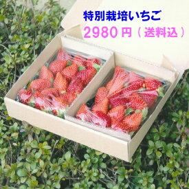 減農薬・無化学肥料いちご うち使い・身内へのギフト用  500g(250g×2) 愛知県産 ゆめのか