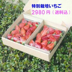 特別栽培 いちご うち使い・身内へのギフト用  500g(250g×2) 愛知県産 ゆめのか