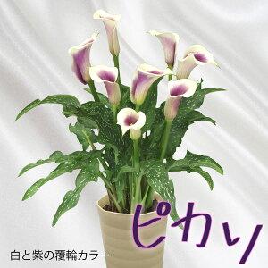 カラー「ピカソ」母の日/鉢植えギフト/花鉢プレゼント/贈る/かすみ草/カスミソウ/感謝の花