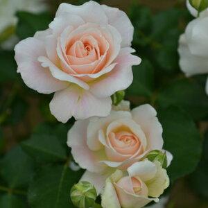 シュシュ(大苗予約)7号鉢植え  四季咲き中輪房咲き系(フロリバンダローズ)スプレー咲き 河本バラ園 Kawamoto Brand Roses バラ苗