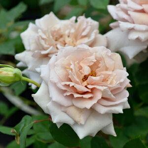 エアリエル(大苗予約)7号鉢植え  四季咲き中輪房咲き系(フロリバンダローズ)スプレー咲き バラ苗 河本バラ園 Kawamoto Brand Roses ヘブンシリーズ