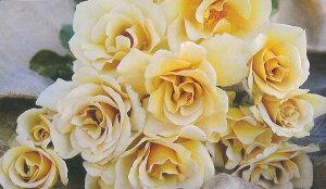 エバンタイユ・ドール(大苗予約)7号鉢植え バラ苗 四季咲き大輪系(ハイブリッドティーローズ) 河本バラ園 Kawamoto Brand Roses
