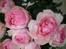 フレグランス・オブ・フレグランシズ(大苗予約)7号鉢植え バラ苗 四季咲き大輪系(ハイブリッドティーローズ) 河本バラ園 Kawamoto Brand Roses