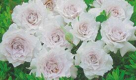ガブリエル(大苗予約)7号鉢植え  バラ苗 四季咲き中輪房咲き系(フロリバンダローズ)スプレー咲き 河本バラ園 Kawamoto Brand Roses ヘブンシリーズ