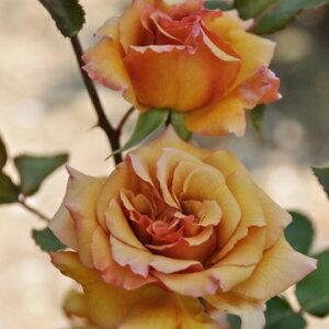 はつね(大苗予約)7号鉢植え  四季咲き中輪房咲き系(フロリバンダローズ)スプレー咲き 河本バラ園 Kawamoto Brand Roses バラ苗