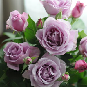 夜来香(大苗)7号鉢植え バラ苗 四季咲き大輪系(ハイブリッドティーローズ) 河本バラ園 Kawamoto Brand Roses