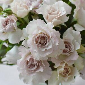 サフィレット(大苗予約)7号鉢植え  バラ苗 四季咲き中輪房咲き系(フロリバンダローズ)スプレー咲き 河本バラ園 Kawamoto Brand Roses