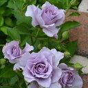 爽(大苗予約)7号鉢植え バラ苗 四季咲き 中輪 河本バラ園 Kawamoto Brand Roses