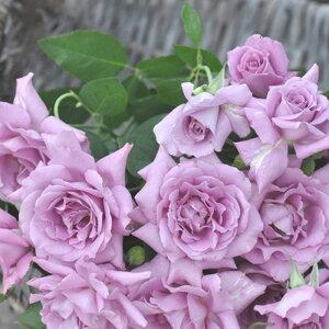 パープル・レイン(大苗予約)7号鉢植え 四季咲き大輪系(ハイブリッドティーローズ) 河本バラ園 Kawamoto Brand Roses バラ苗