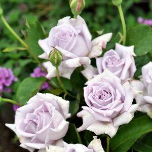 ブルーヴァーグ(大苗予約)7号鉢植え 四季咲き大輪系(ハイブリッドティーローズ) 河本バラ園 Kawamoto Brand Roses バラ苗