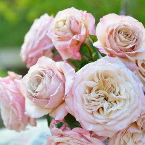 エール(大苗)7号鉢植え 四季咲き バラ苗 河本バラ園 Kawamoto Brand Roses ヘブンシリーズ
