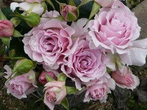 ラ・マリエ(大苗) 7号鉢植え バラ苗 四季咲き中輪房咲き系(フロリバンダローズ)スプレー咲き 河本バラ園 Kawamoto Brand Roses